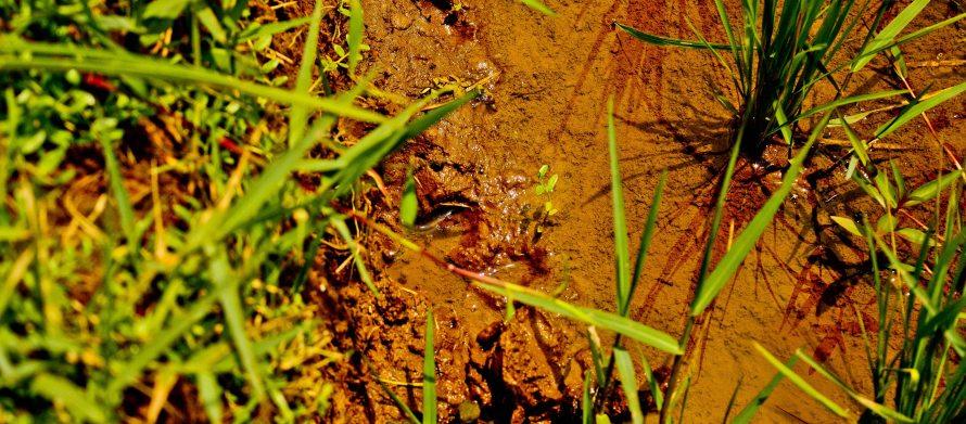 4. Ini lubang belut yang ditemukan di sisi pematang.