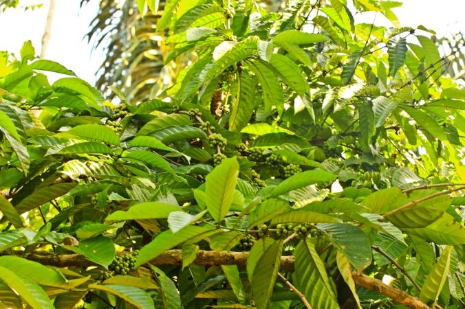 Gimana panennya kalau pohon kopinya tinggi begini?