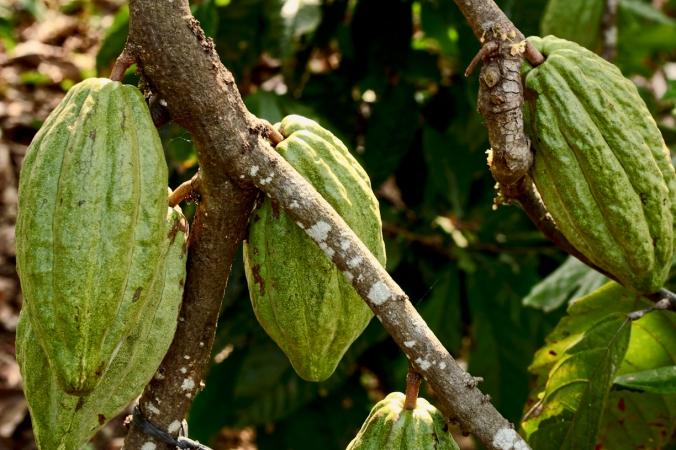 Selain pisang, Lampung juga penghasil coklat. Semua rumah ditanami coklat di sekelilingnya.