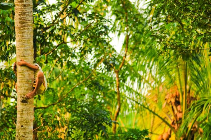 Anak umur 8 tahun manjat pohon kelapa secepat bajing.