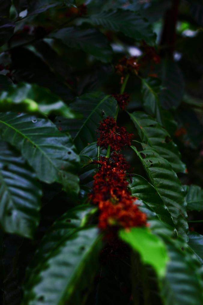 Kopi Lampung dengan wangi khas sedang berbunga. Jika masuk ke perkebunan kopi saat berbunga, hmmm...wanginya enak!