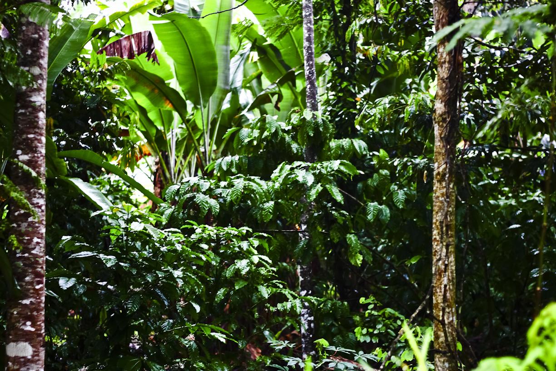 Salah satu sudut perkebunan kopi-coklat seluas 50 hektar milik Markus.