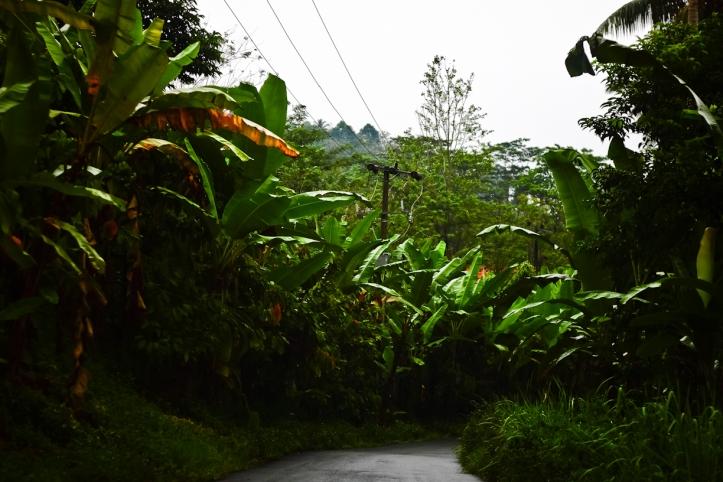 Di Lampung banyak sekali ditemukan kebun pisang. Tidak salah juga kan salah satu oleh-oleh terkenalnya ya keripik pisang.