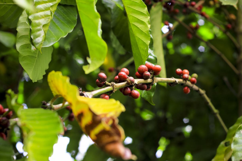 Biji kopi yang sudah matang dipohon ini siap dimakan LUWAK atau MUSANG nama lainnya.