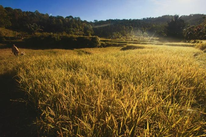 Pencari rumput idealnya memang mencari rumput saat pagi hari. Rumputnya masih segar.