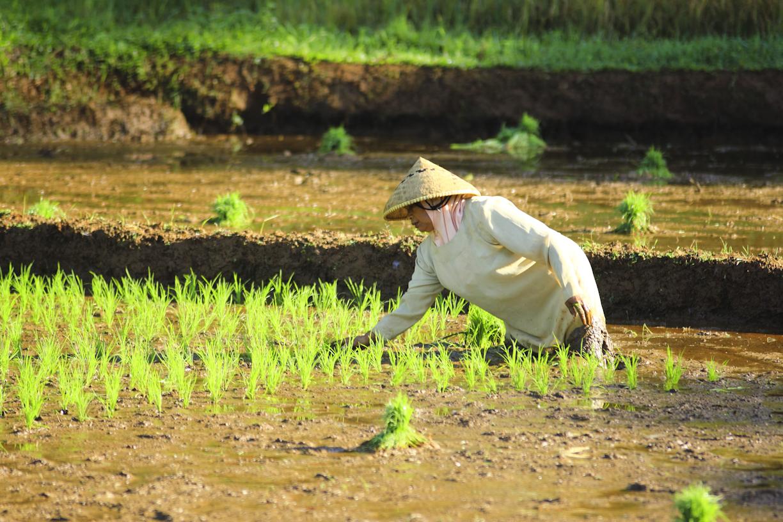 Mau mencoba menanam padi?