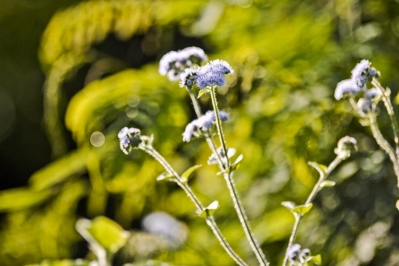 bunga babandotan