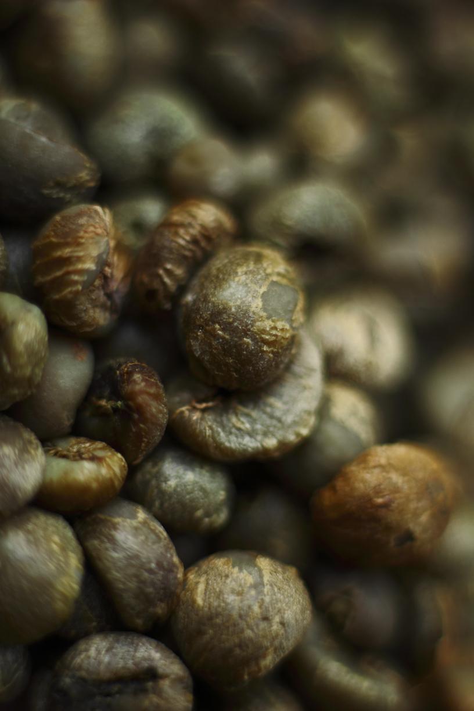 Tahan selanjutnya melepaskan selaput dara dari biji kopi.