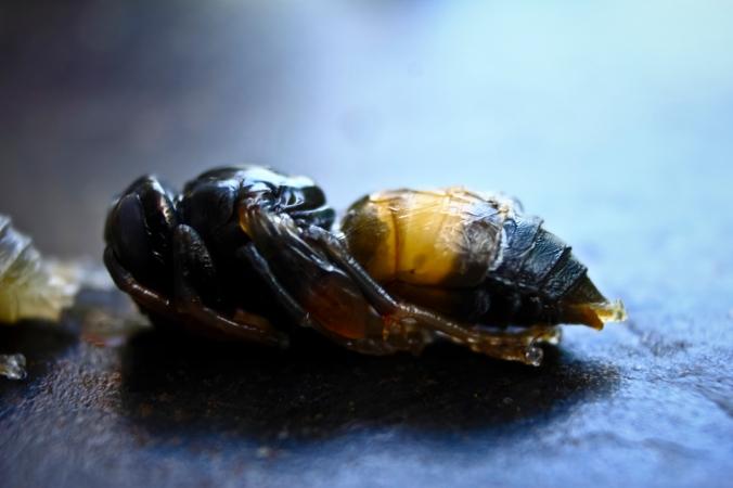 Nah, yang ini nih bayi lebah yang siap terbang dan sudah mengandung sengat. Yang ini biasanya tidak dimakan.