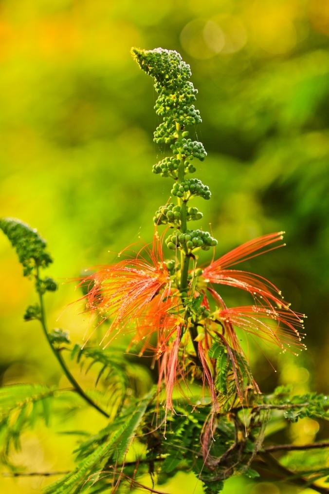 bunga kaliandra