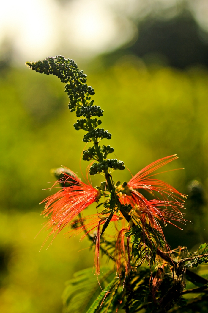 bunga kaliandra. bunga warna merah menjadi sumber makanan burung penghisap.