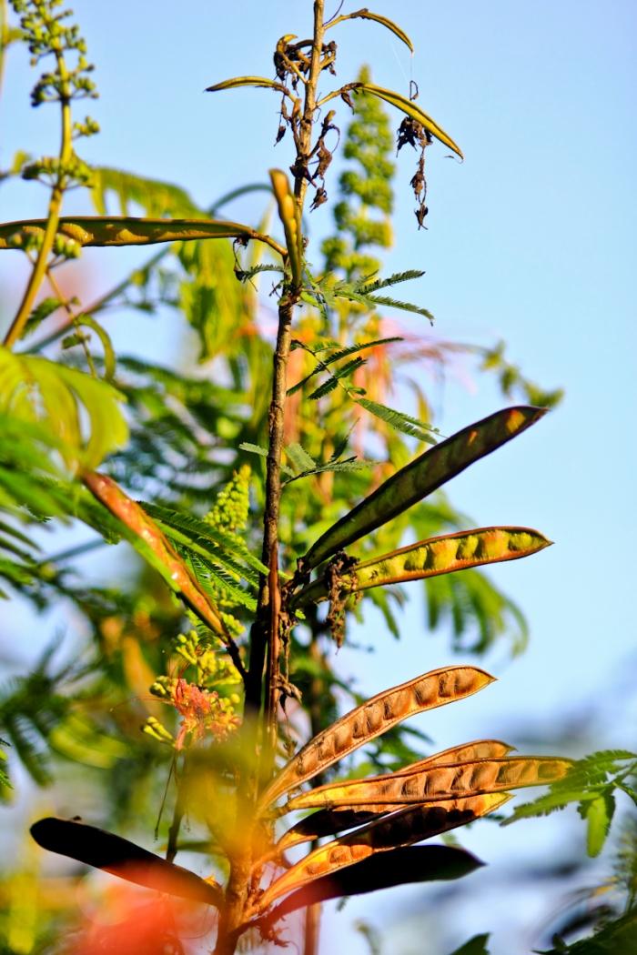 buahnya mirip petai cina, namun cangkangnya keras. untuk membukanya harus dipelintir.