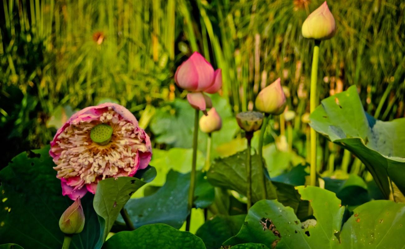 Sekumpulan bunga teratai di sisi sawah.