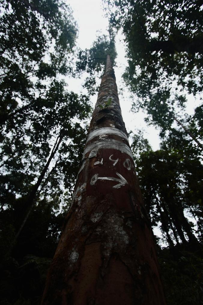 Pohon Rasamala ditandai supaya tidak ditebang. Yang berhak nebang pemerintah. Ya ujung-ujungnya duit kan ya. Mau ditandai pakai apa pun kalau duit sudah bicara, ditebang juga sih.