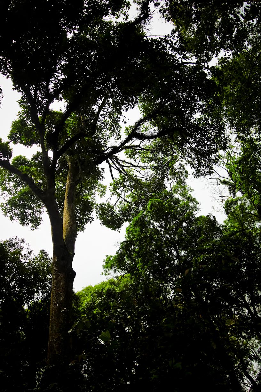 Pohon Rasamala ini sudah ada sejak saya usia lima tahun. Semoga tetap begini sampai mati dengan sendirinya.