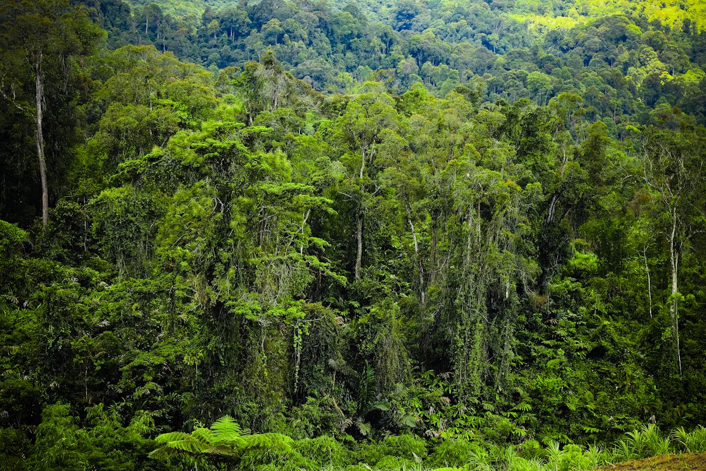Hutan di sisi Puncak Bungah ini dulu sangat lebat. Sekarang mulai jarang. Katanya banyak pengusaha kota tergiur beli hutan ke pemerintah dan menebangnya. Di pohon inilah dulu saya sering kali melihat banyak jenis monyet bermain sambil teriak-teriak.