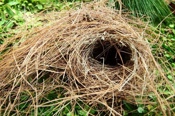 Melihat kondisi sarangnya masih mulus, biasanya ini burungnya sedang kondisi bertelur. Kalau sarangnya sudah penuh kotoran, biasanya telor burung sudah menetas.
