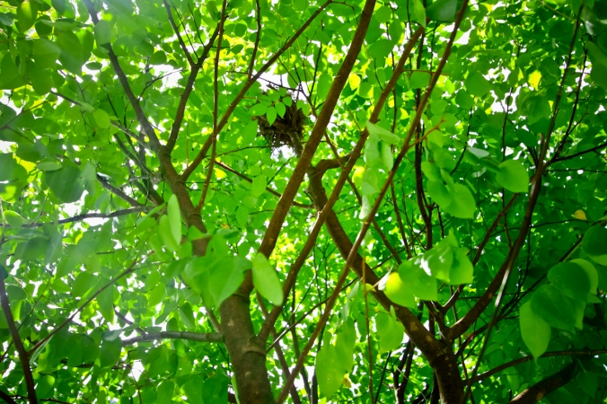 Burung yang bersarang di tempat-tempat mudah dijangkau ini biasanya burung pipit. Ini pohon belimbing. Entah kenapa burung pipit jarang bersarang di pohon yang tinggi. Mungkin burung pipit takut ketinggian. Wew!