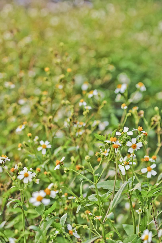 Bunga liar di Sentul.
