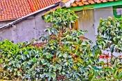 Banyak ditemukan pohon kopi.