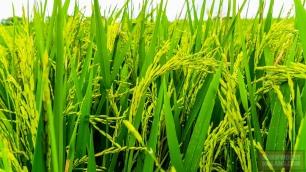 Kalau kalian berjalan di pematang sawah, ada aroma sawah yang khas, yang bikin kalian rindu kampung halaman.