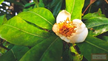 Bunga Puspa.