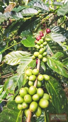 Siap panen kopi di kebun sendiri.