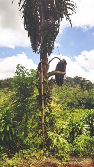 Pohon Kawung/Pohon Aren siap disadap