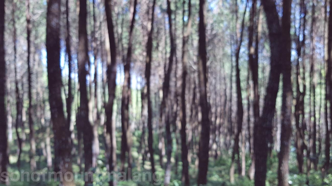 Hutan Pinus Suntenjaya11