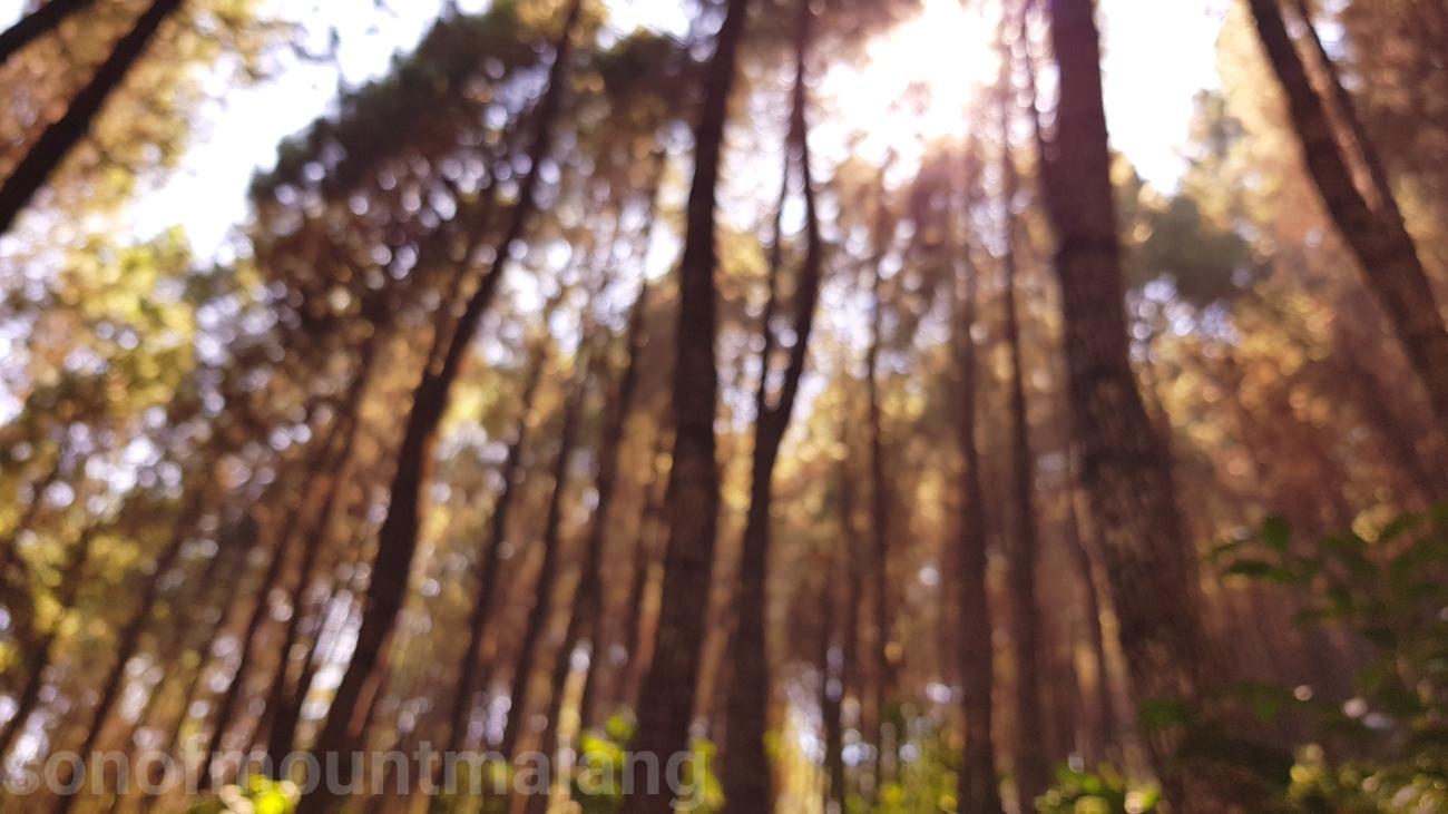 Hutan Pinus Suntenjaya12