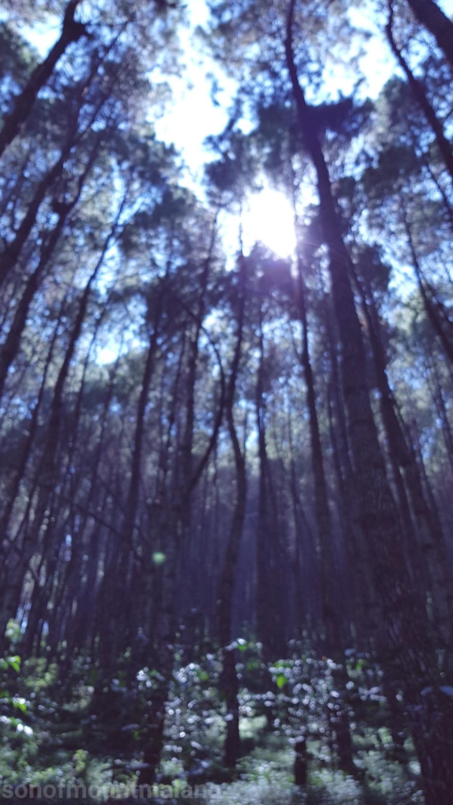 Hutan Pinus Suntenjaya14