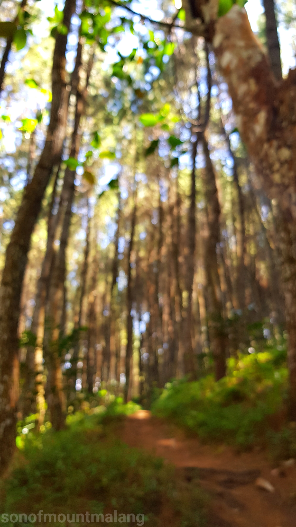 Hutan Pinus Suntenjaya15
