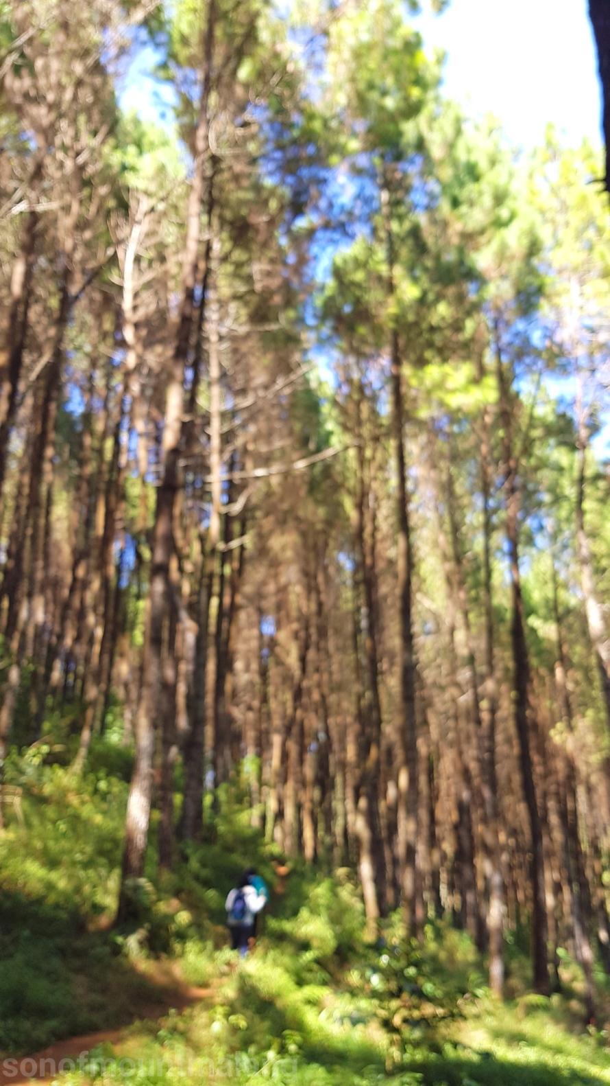Hutan Pinus Suntenjaya17