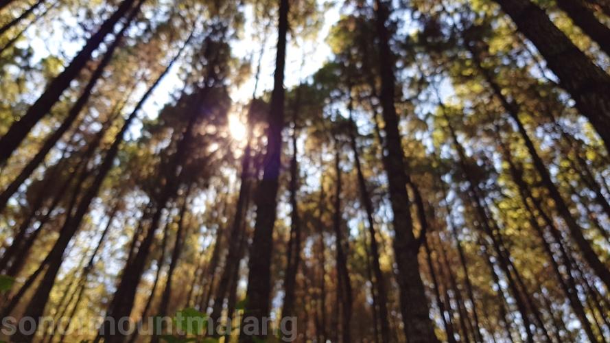 Hutan Pinus Suntenjaya18