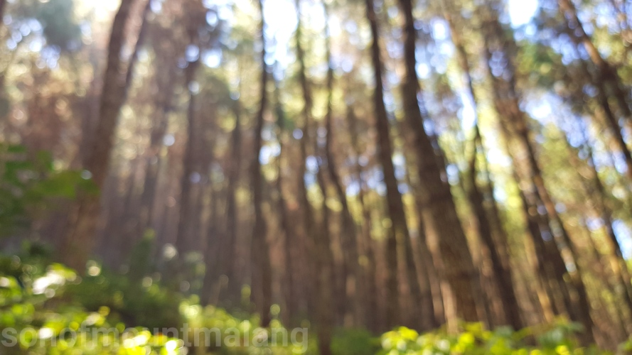 Hutan Pinus Suntenjaya2