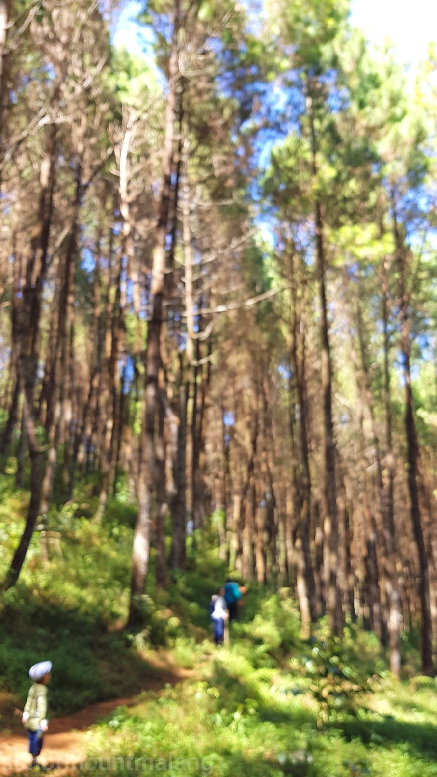 Hutan Pinus Suntenjaya22