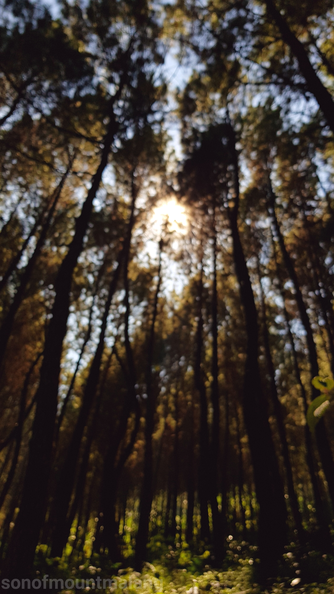 Hutan Pinus Suntenjaya23