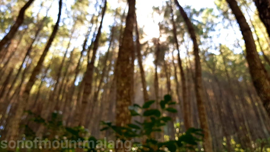 Hutan Pinus Suntenjaya25