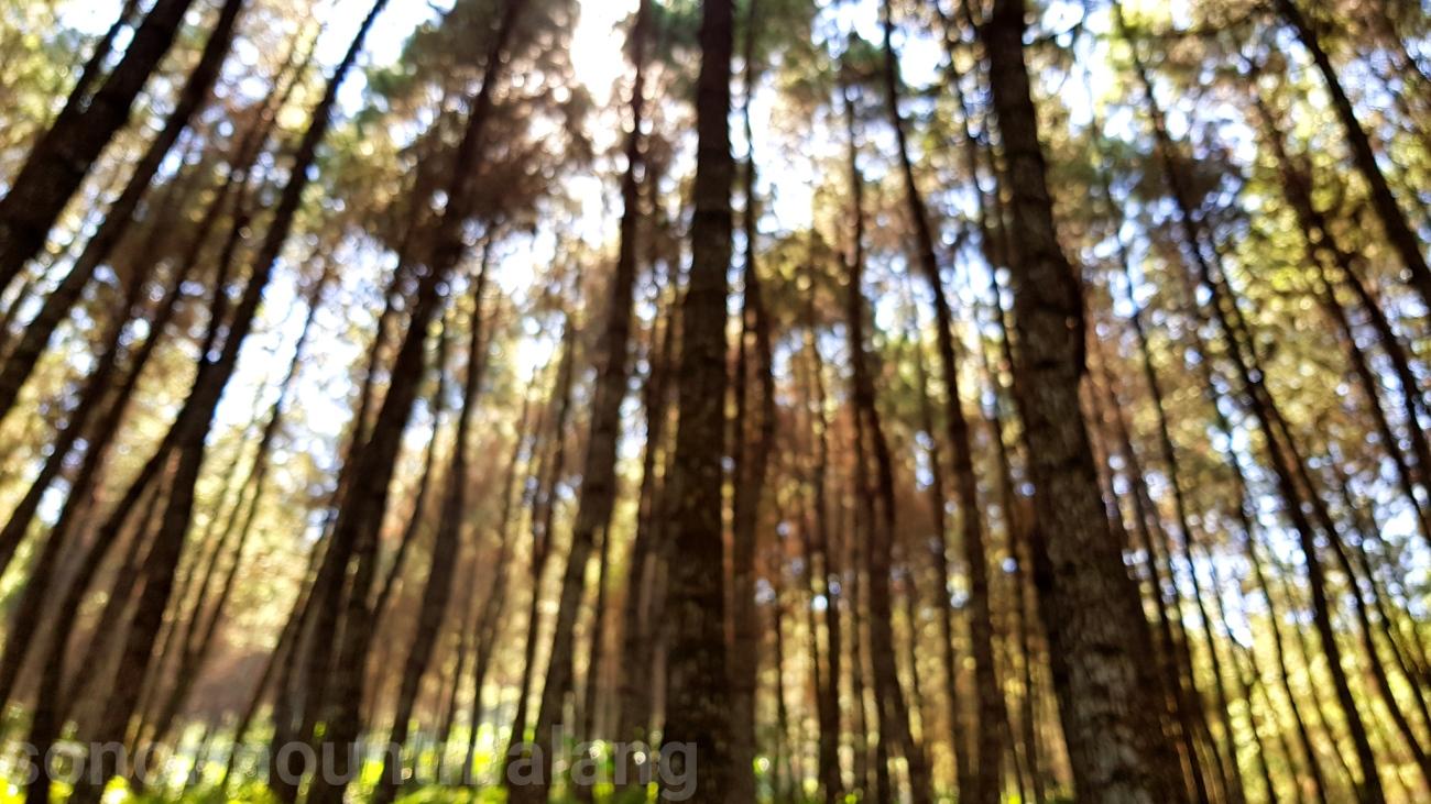 Hutan Pinus Suntenjaya28
