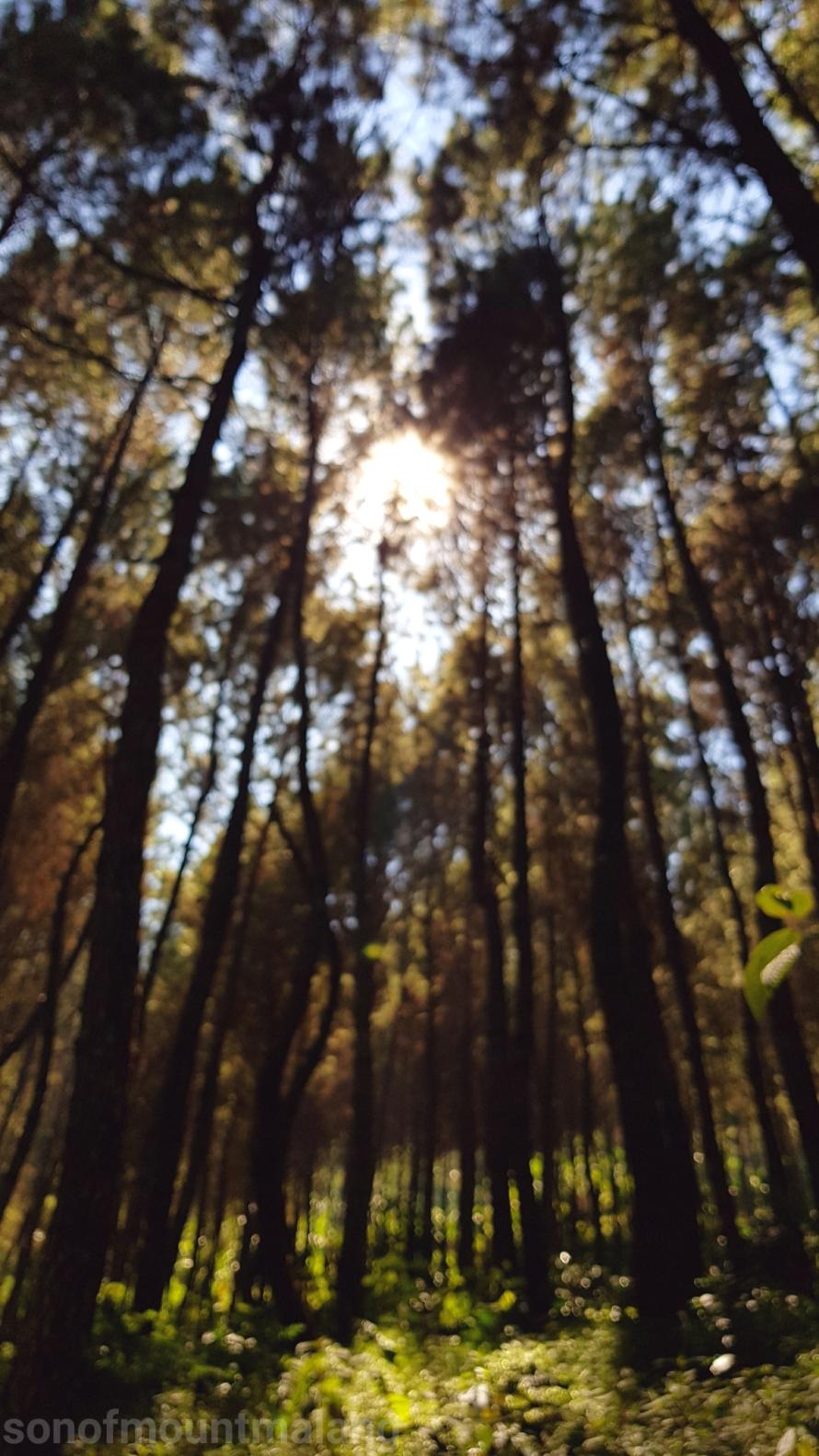Hutan Pinus Suntenjaya29