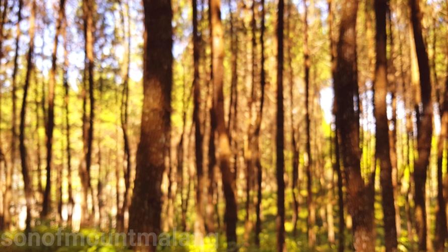 Hutan Pinus Suntenjaya3