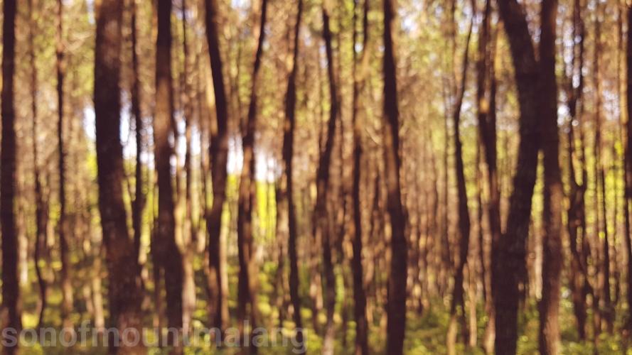 Hutan Pinus Suntenjaya6