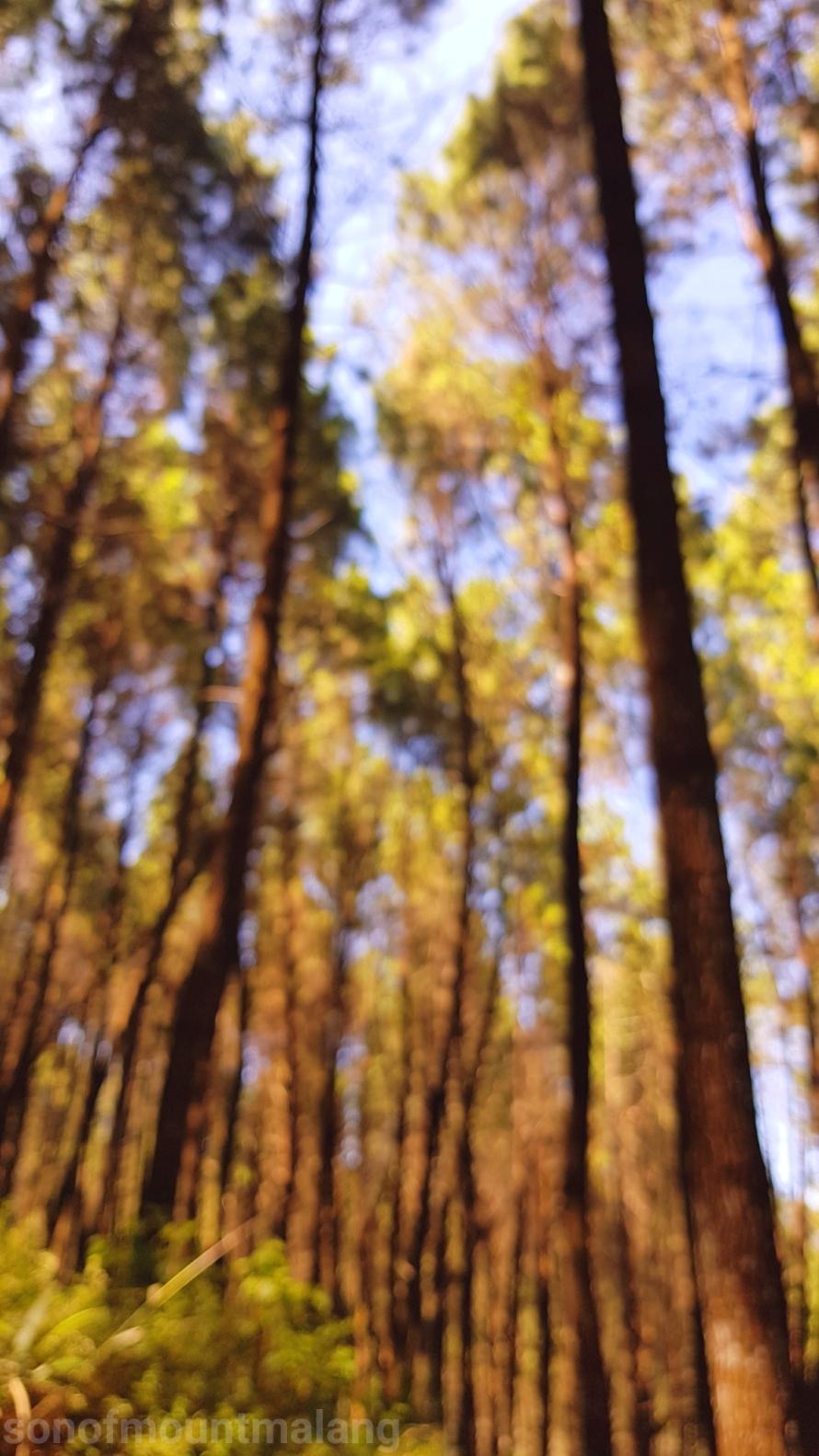 Hutan Pinus Suntenjaya7