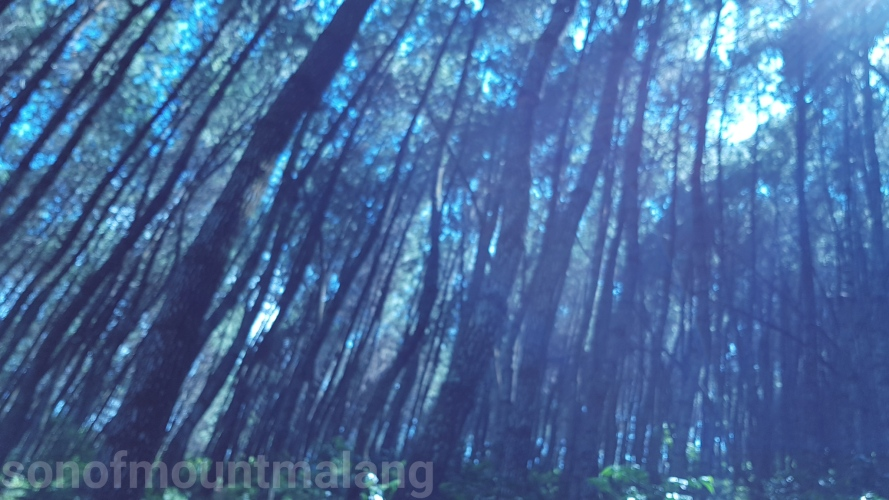 Hutan Pinus Suntenjaya8
