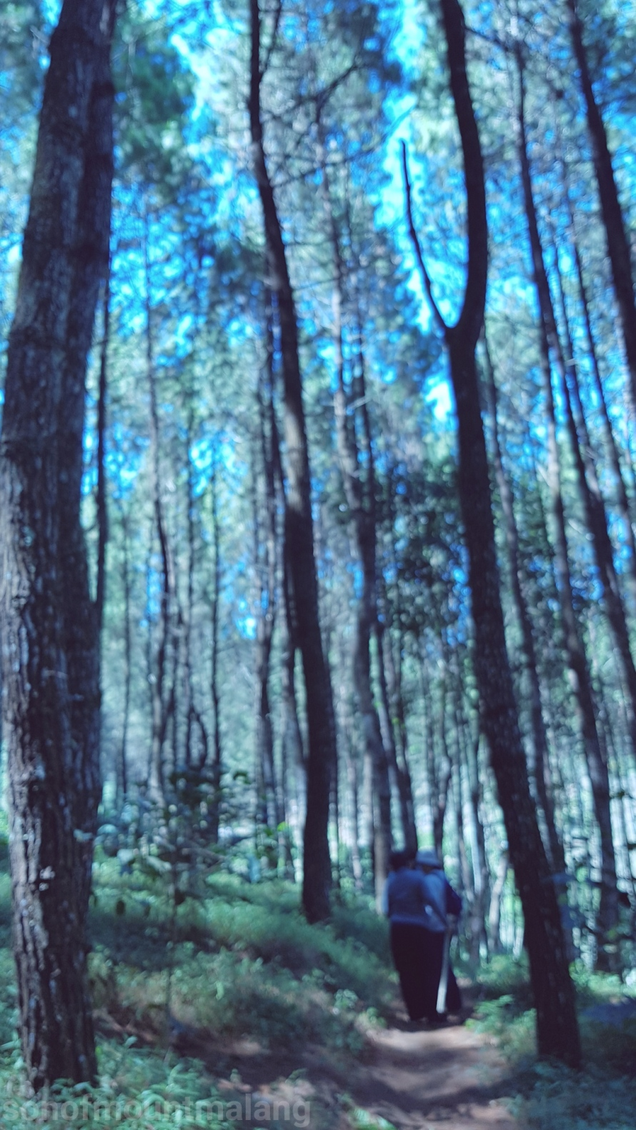Hutan Pinus Suntenjaya9