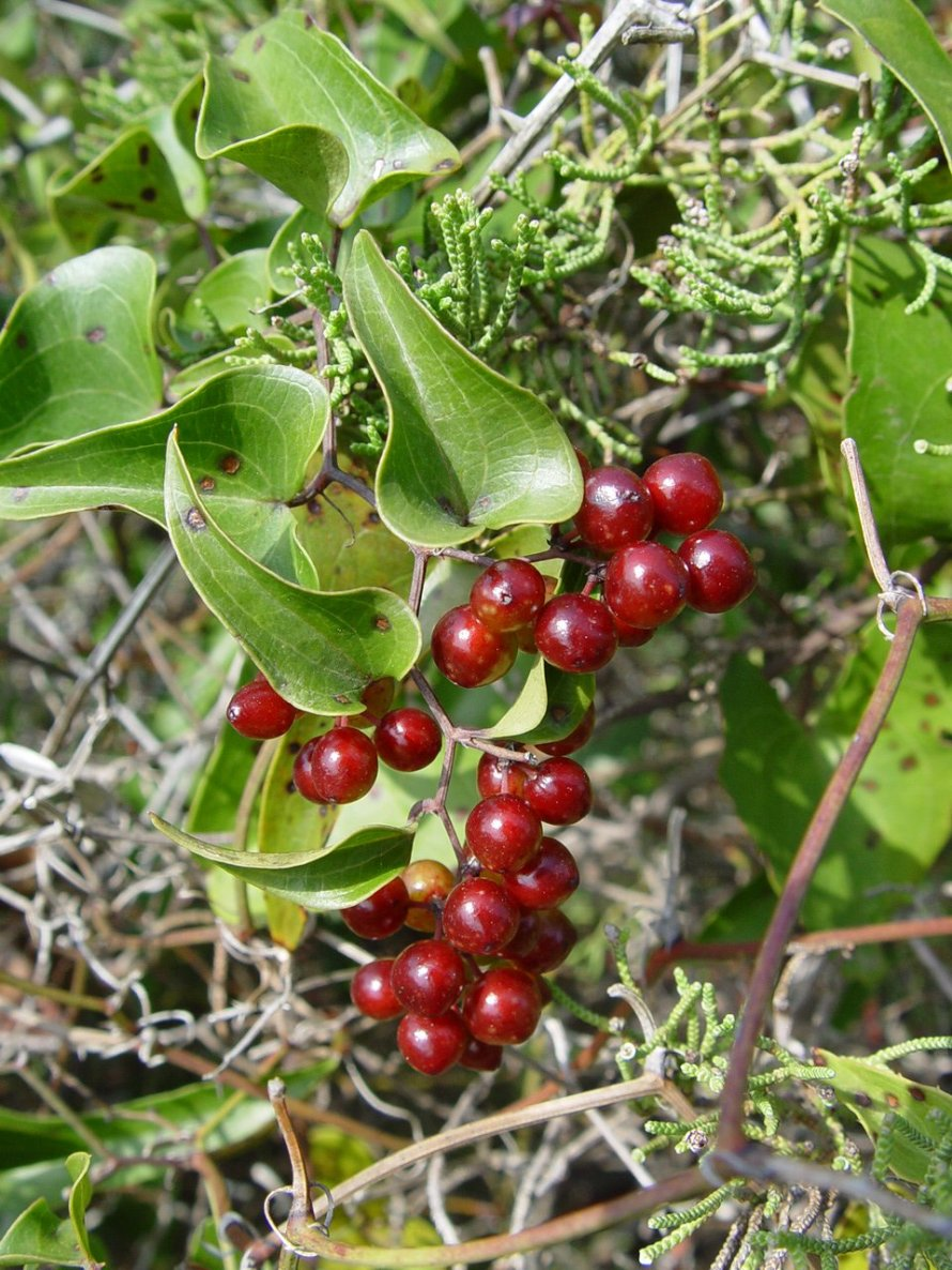 https-::upload.wikimedia.org:wikipedia:commons:7:74:Smilax_aspera
